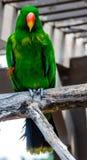 Eclectus parrot Stock Photos