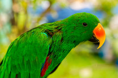 Eclectus Parrot Stock Images