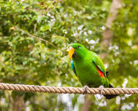 Eclectus parrot,  QLD, Australia. WANGETTI, QLD/AUSTRALIA - OCT 24, 2015: Eclectus parrot (Eclectus roratus) perched on a rope, at Hartleys's Crocodile Stock Photography