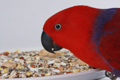 Eclectus Parrot with Seed. A female Eclectus Parrot eatting parrot seed against a white background. Latin name Eclectus roratus Royalty Free Stock Images