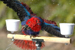 Eclectus Parrot Showering Royalty Free Stock Images