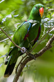 An Eclectus parrot at the Singapore Zoo in Singapore. Stock Images
