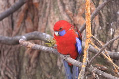 Eclectus parrot Royalty Free Stock Photography