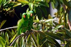 Eclectus parrot Stock Photo