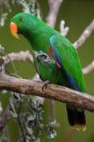 Eclectus parrot (Eclectus roratus). Stock Images
