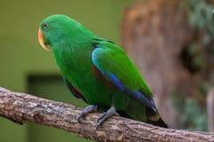 Eclectus parrot (Eclectus roratus). Stock Photos