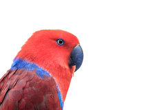Eclectus  red Stock Photo