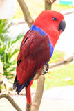 Eclectus  red Royalty Free Stock Images