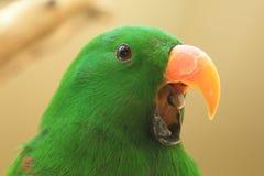 Eclestus parrot Stock Photo