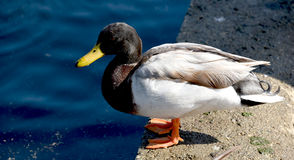 Eclipse Drake Mallard Duck Profile. Full view of a drake (male) Mallard duck in eclipse non-breeding colors Royalty Free Stock Photography