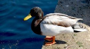Eclipse Drake Mallard Duck Profile Royalty Free Stock Photography