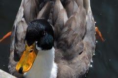 Eclipse Drake Mallard. Close up of a Eclipse Drake Mallard Duck in the lake Stock Image