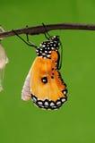 eclosion (12/13)的进程钻出的蝴蝶尝试茧壳,从蛹把变成蝴蝶 库存照片