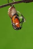 eclosion (4/13)的进程钻出的蝴蝶尝试茧壳,从蛹把变成蝴蝶 库存照片