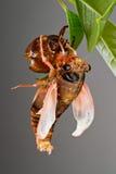 Eclosion 4 van de cicade Royalty-vrije Stock Afbeeldingen