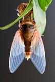 Eclosion 5 della cicala Fotografia Stock