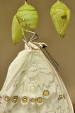 Eclosion branco do swallowtail foto de stock royalty free