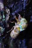 The eclosion of a cicada. On the tree stem Royalty Free Stock Photography