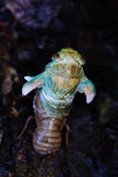 The eclosion of a cicada. On the tree stem Royalty Free Stock Images