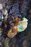 The eclosion of a cicada. On the tree stem Stock Photos