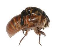 Eclosion de cigale d'insecte image libre de droits