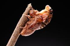 Eclosion 04 della cicala Fotografie Stock Libere da Diritti