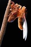 Eclosion 08 della cicala Fotografie Stock