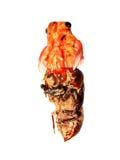 Eclosion van de cicade Stock Fotografie