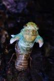 Eclosion van een cicade Royalty-vrije Stock Afbeeldingen