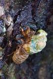 Eclosion van een cicade Stock Foto's