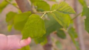 Eco生活 设法婴孩的手到达绿色叶子 人类本性 接触树的孩子的胳膊 特写镜头,慢动作 股票录像