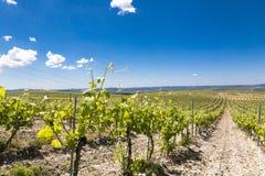 Eco葡萄园在克罗地亚 免版税库存照片