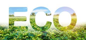 Eco-Aufschrift auf dem Hintergrund des Auberginenplantagenfeldes Umweltfreundliche Ernte, Qualitätskontrolle und Gebrauch des Saf lizenzfreie stockbilder