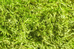 Eco background. Close up of vivid green moss Royalty Free Stock Images