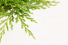 Eco border of green young conifer branches close up on beige wood board background. Royalty Free Stock Image