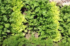 Eco butterhead lettuce, radish and dill. Young lettuce with radish and dill in ecological home garden. Eco-friendly formal  vegetable backyard garden Stock Image