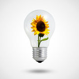 Eco concept: light bulbs with Sunflower inside. Eco concept: light bulbs with Sunflower blooming inside Royalty Free Stock Photography