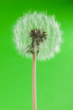 Eco dandelion Royalty Free Stock Photography