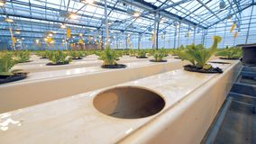 Eco de landbouwconcept Sluit omhoog van twee bloempotten met groene installaties die gezet in gaten in een serre worden stock video