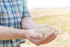 Midsection of mature farmer holding handful of wheat grains at farm stock photo