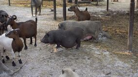 Eco farm pig goat farmland outdoor Pasture group domestic animal farming Summer