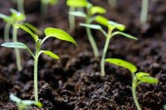 Seedlings of young plants stock image