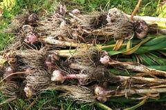 Eco Garlic bulbs Royalty Free Stock Photo