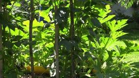 Eco-Gartenarbeitskraft mit zucchini-Gemüseanlagen des Gießkannewerkzeugs Bewässerungs 4K stock video