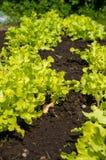 Eco grönsallat i trädgården Royaltyfri Fotografi