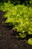 Eco grönsallat i trädgården Royaltyfria Foton