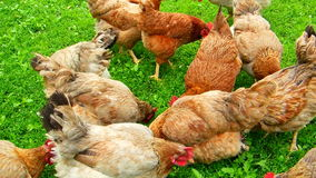 Eco hens friendly green yard stock video footage