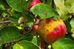 Eco jabłko Zdjęcie Royalty Free