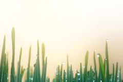 Eco Nature Background with Grass, Sun and Waterdrops. / Defocused Bokeh Royalty Free Stock Image