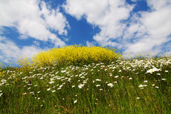 Eco-paradise. Flowering rape-seed and daisies on grassy hill Royalty Free Stock Photography